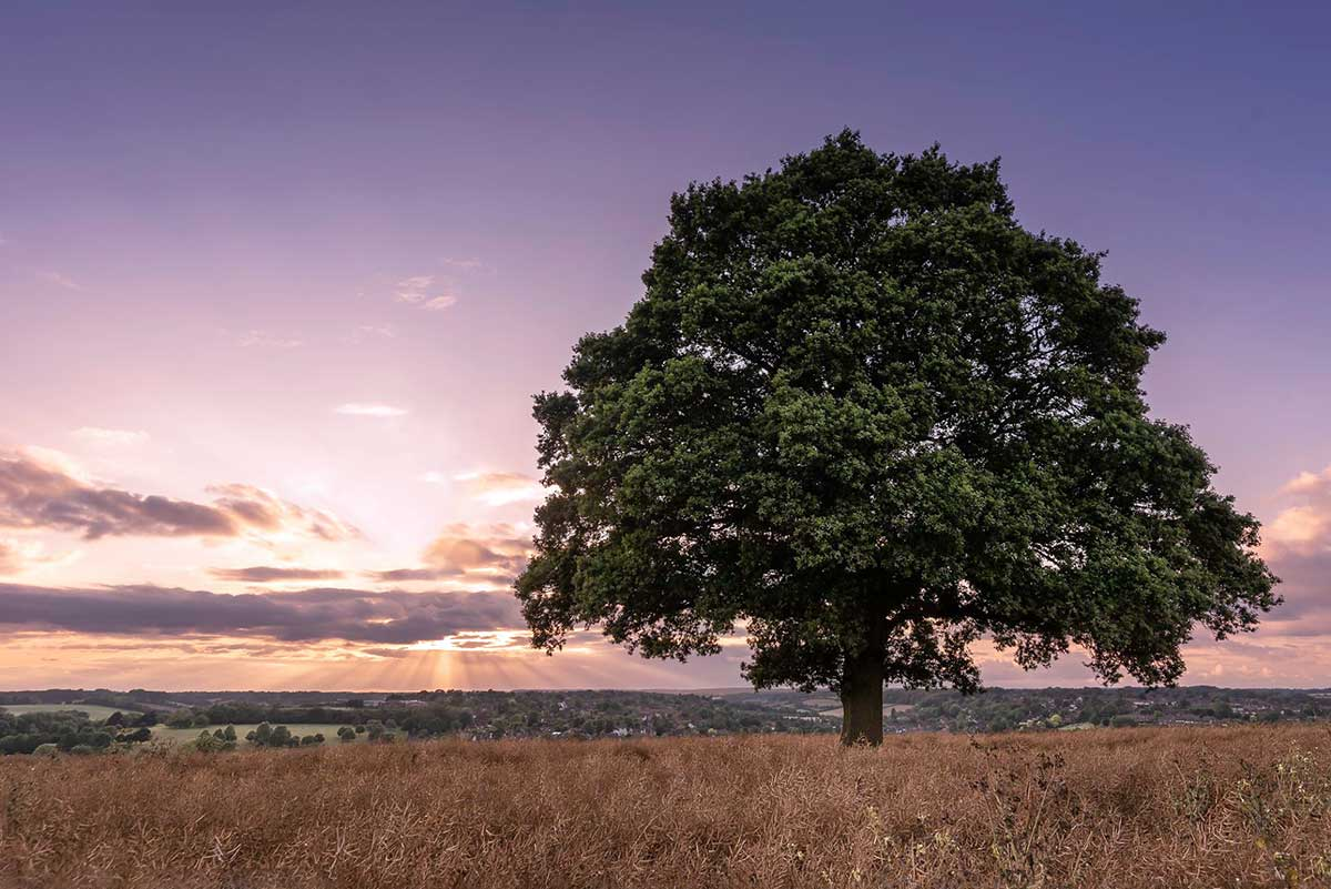 07-MS-Chesham-tree-1200px